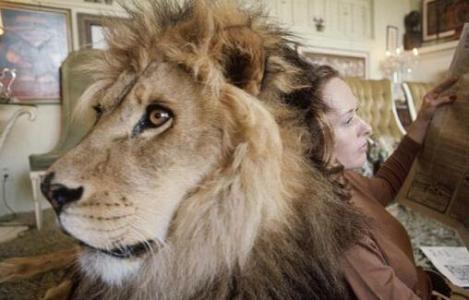 这样可以养好狮子尾吗?