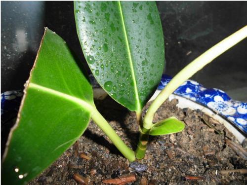 知道橡皮树的养殖方法吗?