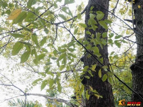 酸枣树巧栽易成活