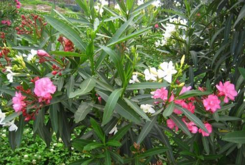 夹竹桃的栽培技术(1)