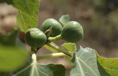 无花果的繁殖和栽培技术要点