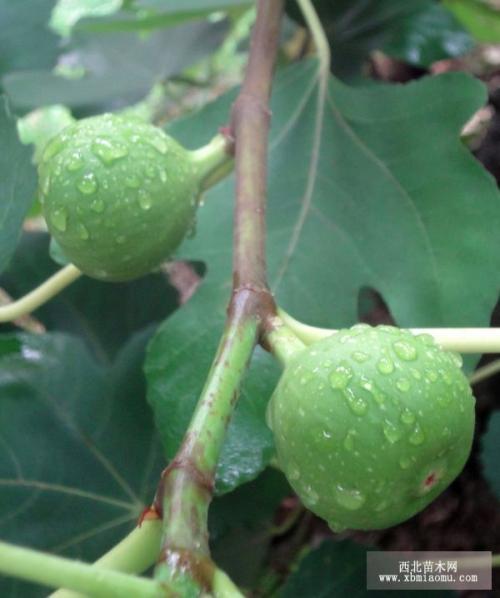 无花果的栽培技术及其应用