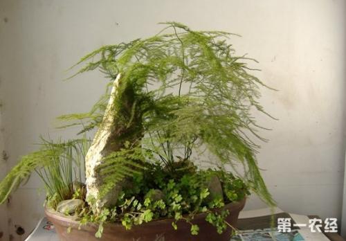 文竹的繁殖技术
