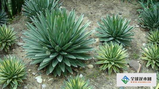 龙舌兰栽培及病虫害防治
