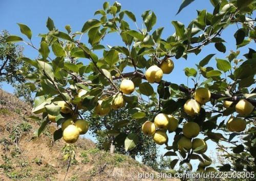 梨树秋接更适宜