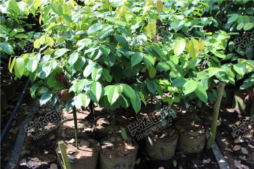 珍贵树种水曲柳培育技术