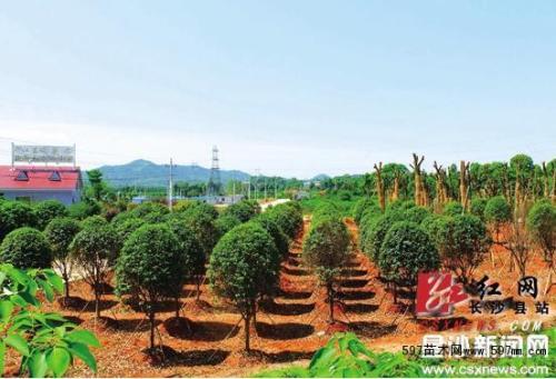 湖南:长沙县江背村,锦州将创建苗木质量二级市场