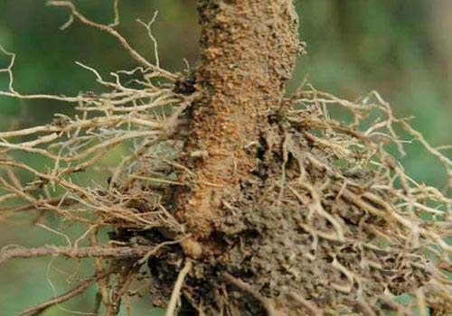 杉木根腐病防治方法
