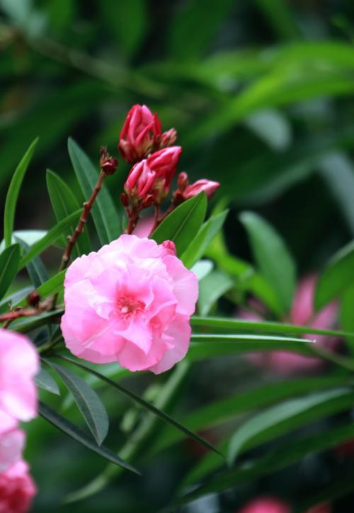 使用夹竹桃玫瑰黑斑病治愈