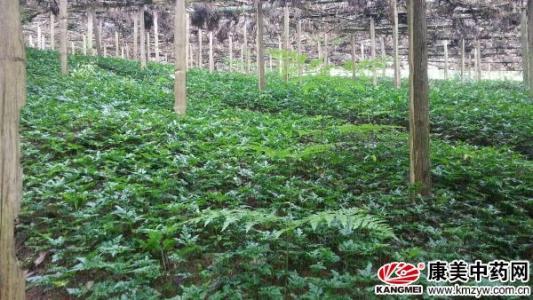 重庆:武隆县林下种黄连助农增收