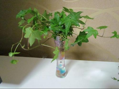 水培常春藤如何