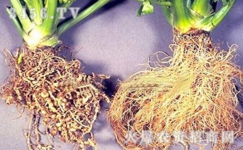 榕树根结线虫防治方法