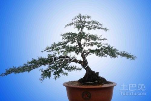 养护方法红豆杉盆景