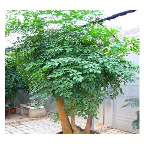 福建:在头10个月漳州市花卉苗木盆景榕树出口稳定增长稳定