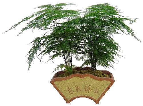 文竹盆栽的冬季管理