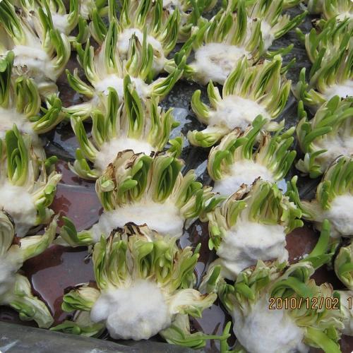 福建:漳州水仙花雕刻出口到新加坡的第一次