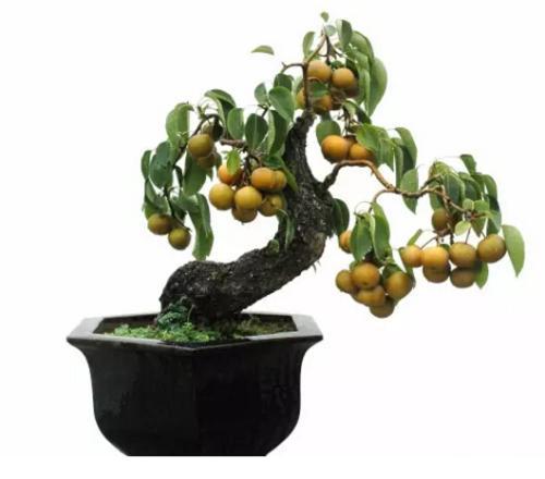 盆栽梨树的养护管理方法要点