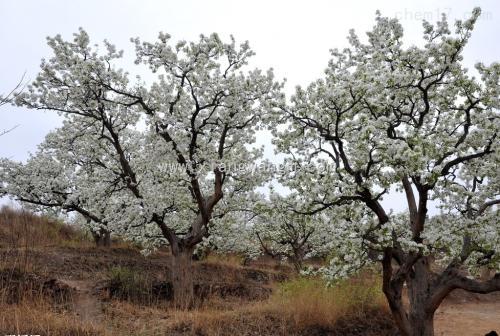 吉林:长春市的第一个主题公园在1000梨树进入花期