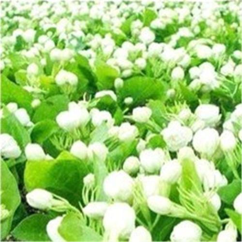 江苏茉莉花种子市场价格,较新的种子茉莉价格查询 -  2015年6月18日