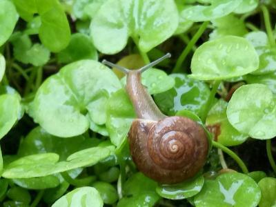 防治方法马蹄金草坪上的蜗牛