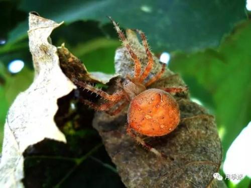 佛手红蜘蛛的防治方法