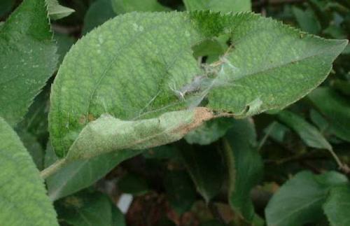佛手卷叶虫的防治方法