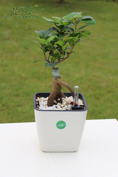 盆栽榕树落叶的防治方法