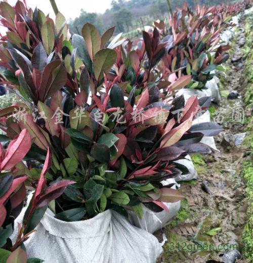 红花继木主要病虫害防治方法