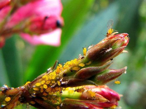 夹竹桃蚜虫病危害及防治