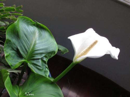 马蹄莲花叶病的防治措施