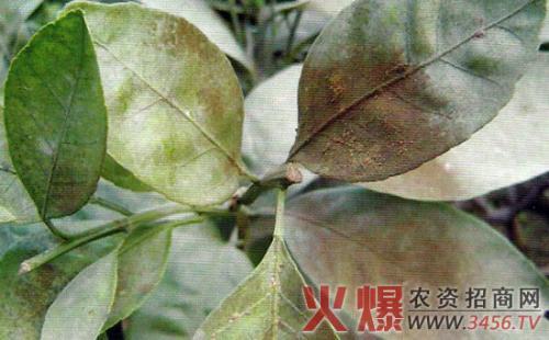 榕树煤污病症状及防治