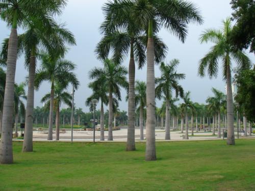大王椰子心腐病防治方法