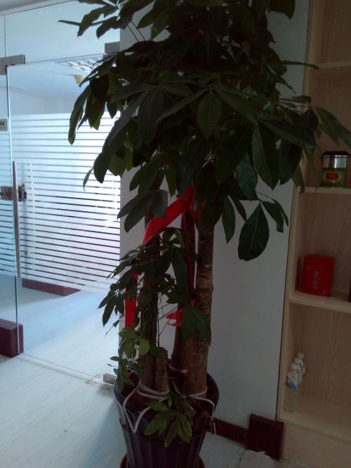发财树怎么养护