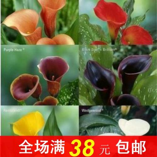 彩色马蹄莲春节开花栽培的方法