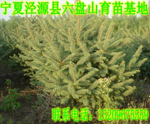 云杉采种育苗及造林技术