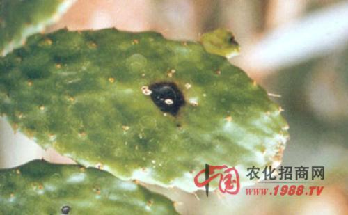 仙人掌炭疽病的防治