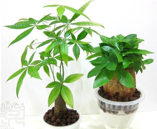 发财树小盆栽的养护方法