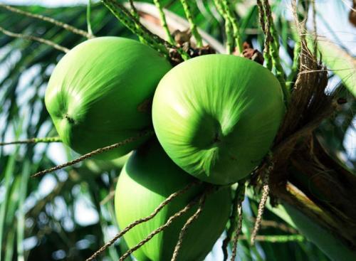 椰子芽腐病症状及防治方法
