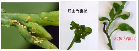 榕树木虱发生规律及防治方法