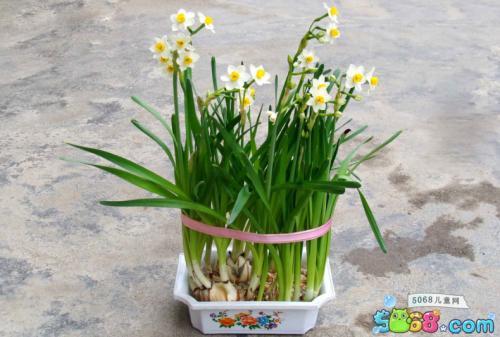 水仙花的盆栽养护