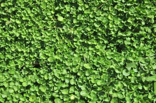 马蹄金草坪管理技术
