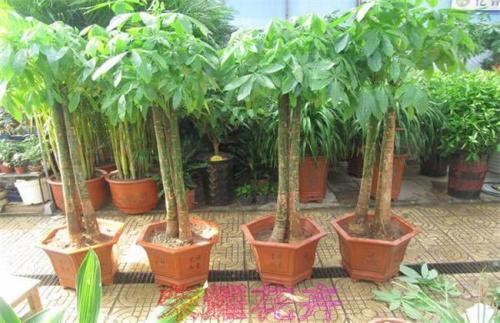发财树种植方法和注意事项