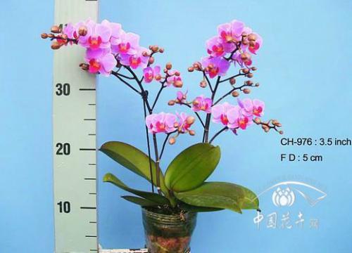 蝴蝶兰:总量增加,杂色上量