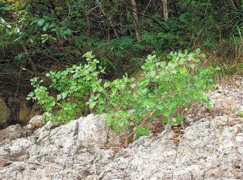 浙江:象山发现成片野生珍稀濒危树种海滨木槿