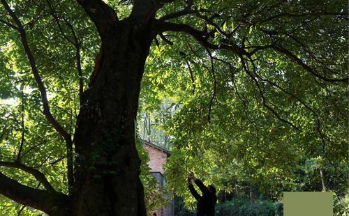 湖北现千年金丝楠木 树下泉水长流