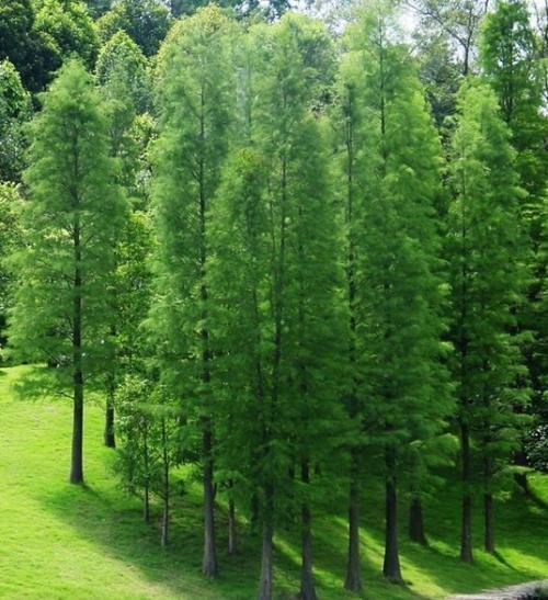 安徽:天长市大力实施池杉良种繁育基地项目建设