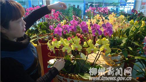 天津:花卉市场红红火火 蝴蝶兰和多肉植物受宠