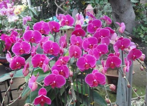 天津:百种蝴蝶兰提早绽放 迎接花卉销售高峰期