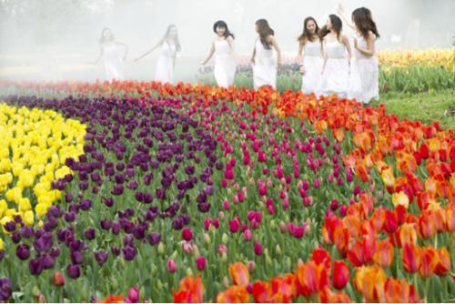 上海鲜花港第13届郁金香花展3月25日盛大开幕
