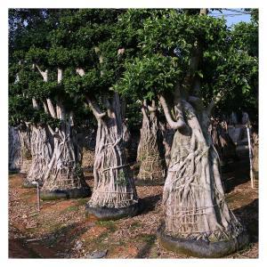 福建:移植榕树造新景 合理利用苗木资源
